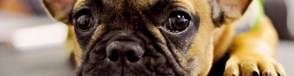 banner_dog